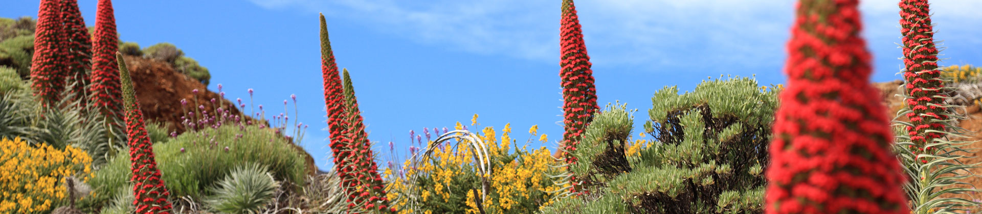 https://www.goodmorningtenerife.com/wp-content/uploads/2014/08/03_slide_flowers_GM_Tenerife.jpg